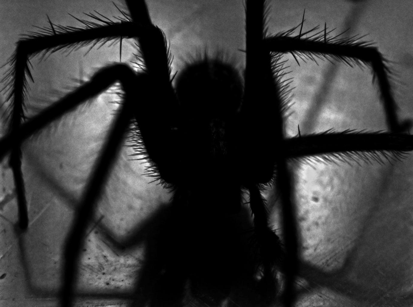 close-up of black spider