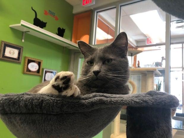 gray cat lounging