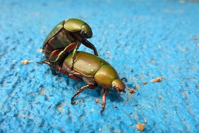 Scarab beetles mating