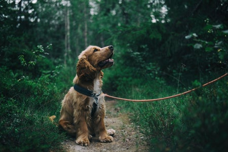 Cocker Spaniel Puppy smiling at owner on leash in forest