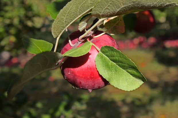 Red apple at orchard