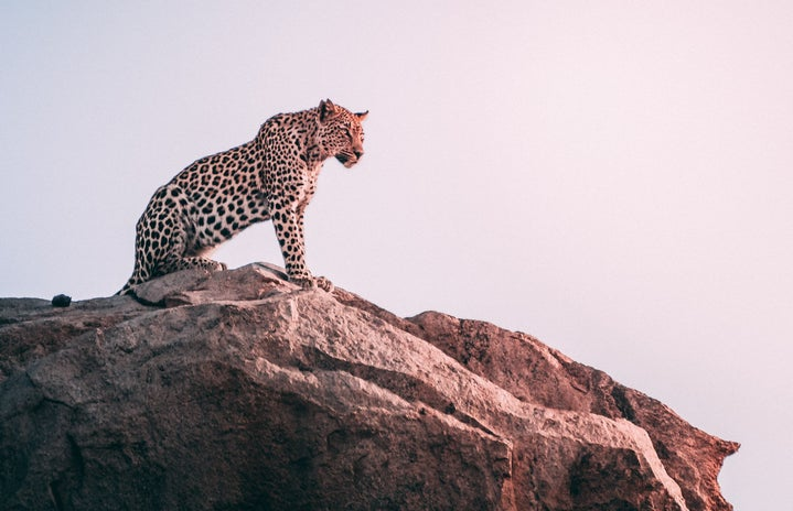 brown leopard on top of a grey rock