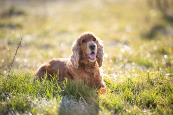 Brown Long Coated Dog on Green Grass