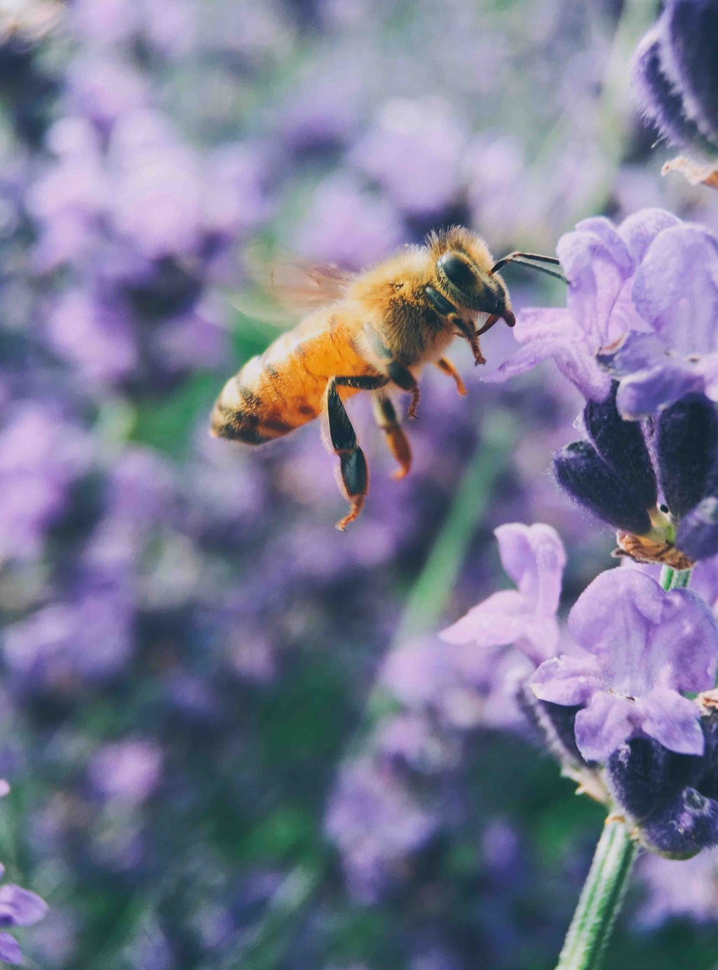 Violets and Bee
