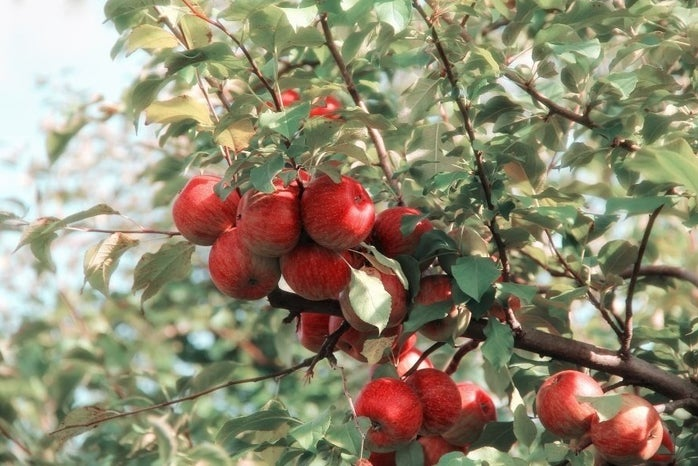 tree with red apples
