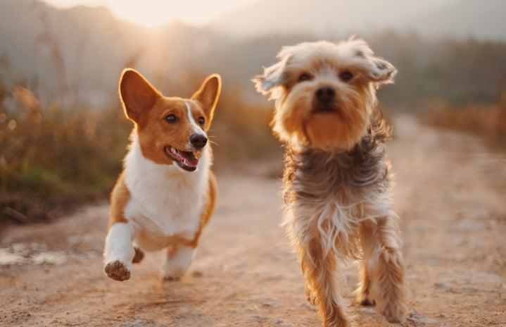 Corgi and Friend Playing