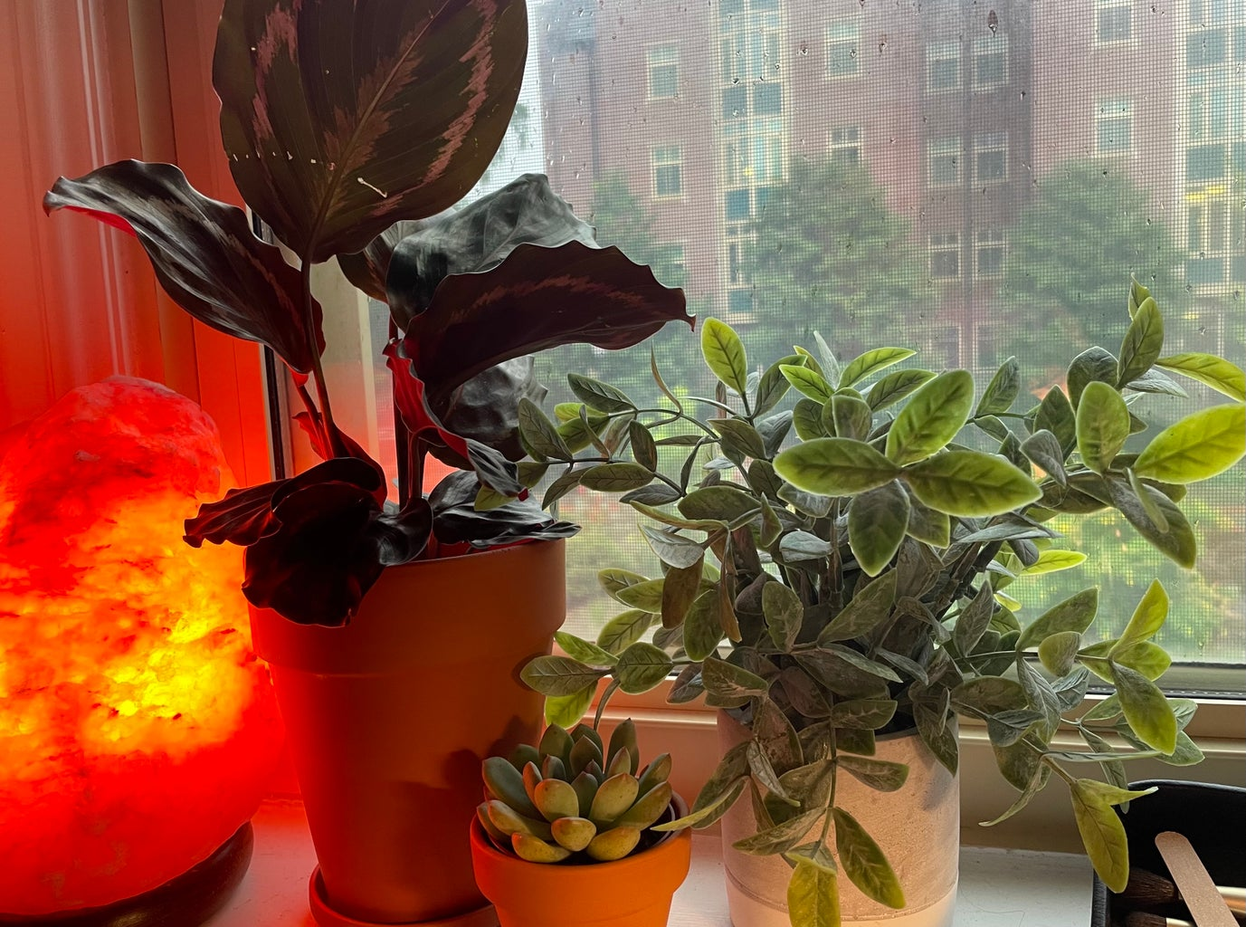 Dorm Plant