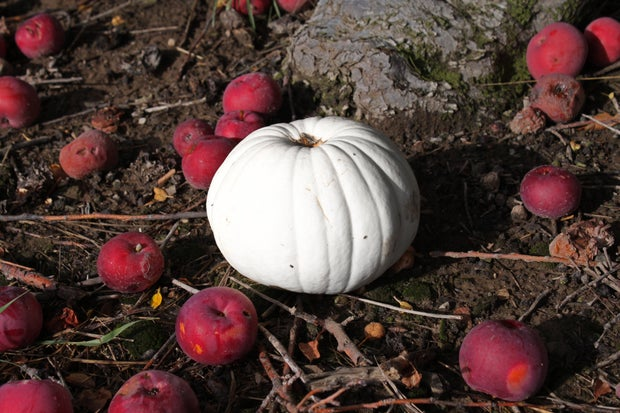 White pumpkin with red apples
