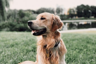 Curious Golden Retriever resting on grassy lawn