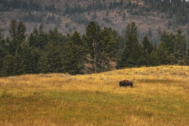prairie land with bison