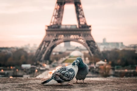 two pigeons being affectionate in front of the Eiffel tower