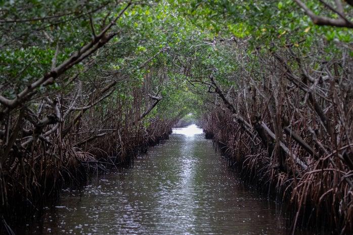 mangroves in everglades