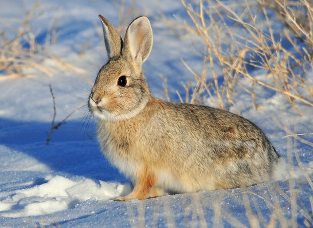 Mountain Cottontail Rabbit in the snow.