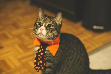 Cat wearing a bowtie